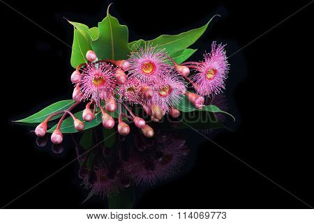 Elegant Bouquet Of Pink Eucalyptus Flowers And Buds Isolated On Reflective Black Surface