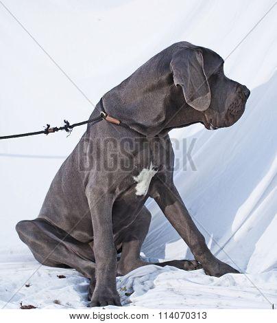 Sitting Great Dane
