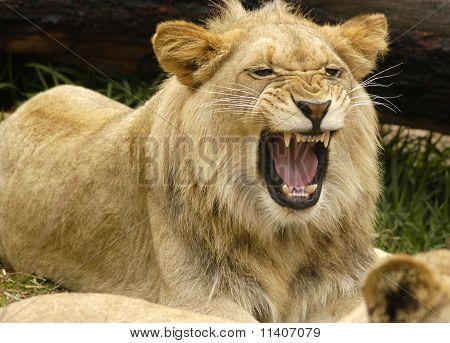Lion Adolescent