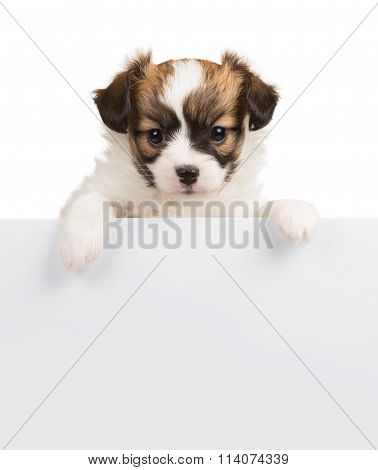 Papillon puppy relies on blank banner