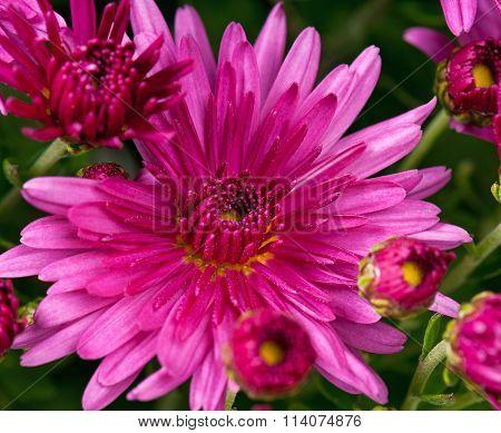Bright Magenta Chrysanthemum