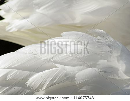 The layered wispy white feathers of a Mute Swan