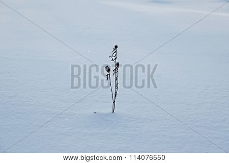 Dried Flower Sticking Out Of The Snow