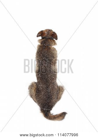 Wire Haired Dog Sitting On The Snow - Isolated Object White Background