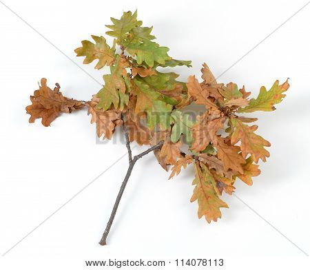 withered oak leaf in golden color sprig  isolated white