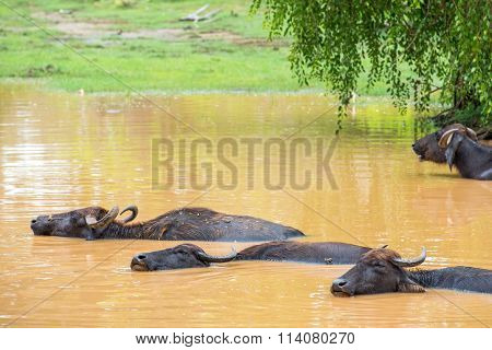Wild Water Buffalo Bathing In Lake In Sri Lanka