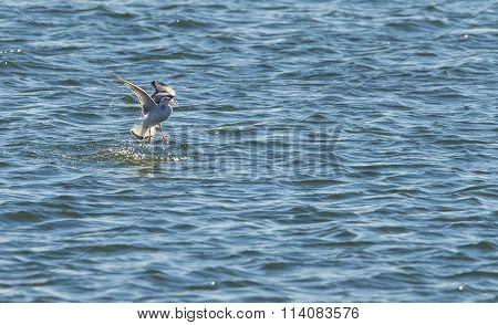 Bonaparte's Gull With Fish