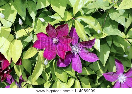 Several Flowers Of Purple Clematis