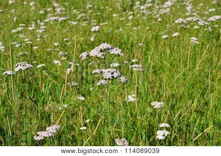 Healing Herb Yarrow