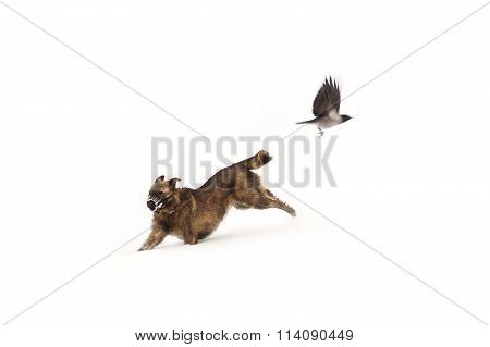 Wire Haired Dog Runs And A Crow Flying In The Snow - On
