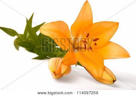large orange lily