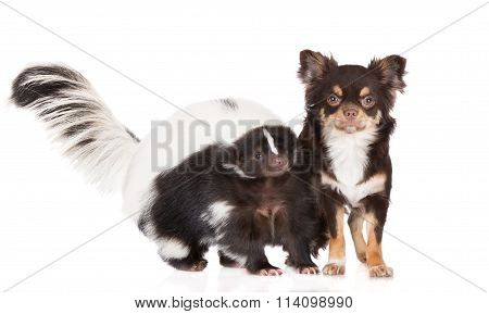adorable chihuahua dog with a skunk