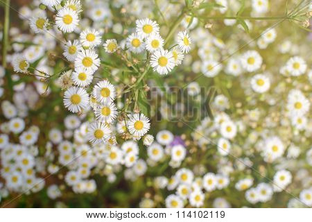 Field Of Camomiles Flowers With Sunlight