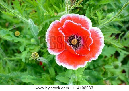 Close Up Of Red Opium Poppy Flower.