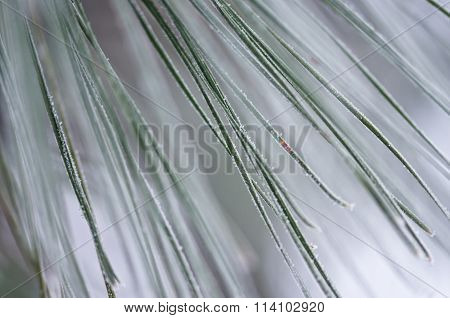 Nature's Abstract: The Frozen Pine Needles Of Winter