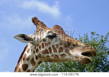 Giraffe with mouth open