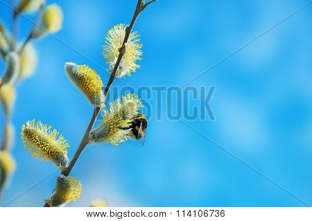 Bumblebee on willow branch