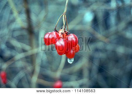 Cluster of Highbush Cranberries