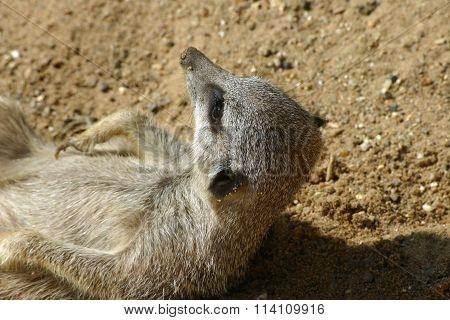 Meerkat waking up