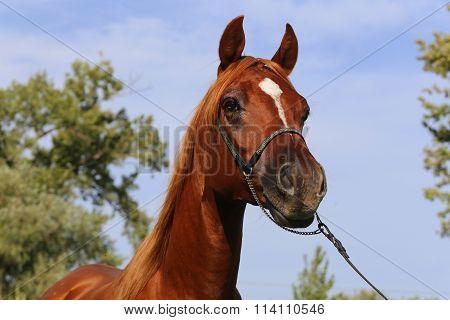 Portrait Of Arabian Horse Against Blue Sky