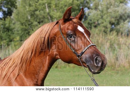 Beautiful Thoroughbred Horse Head At Farm