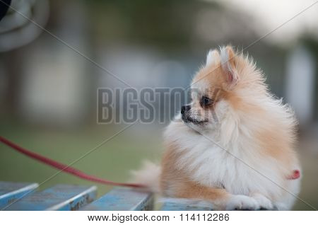 Pomeranian Dog Sitting On Amphitheater