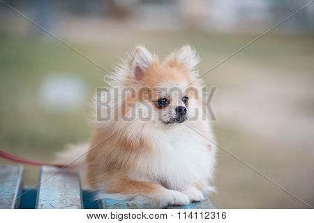 Pomeranian Dog Sitting On Amphitheater