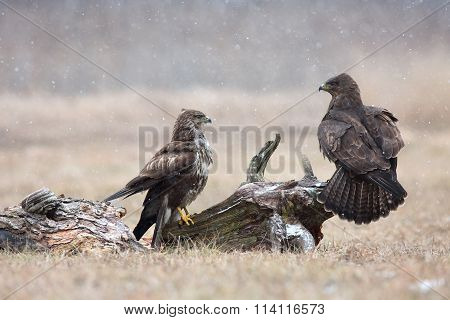 Two Common Buzzard (buteo Buteo) In Winter, The Meadow