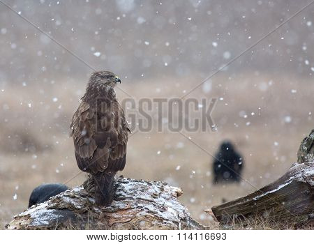 Common Buzzard (buteo Buteo) In A Snowstorm In The Meadow