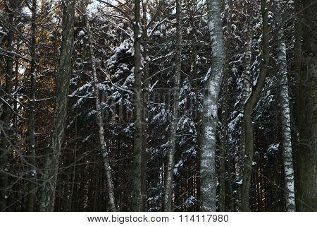 Trees In The Forest Covered With Snow