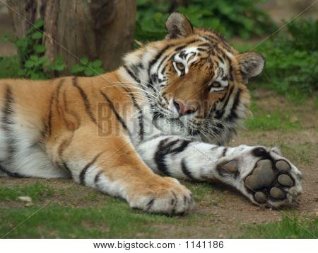 Siberian Or Amur Tiger