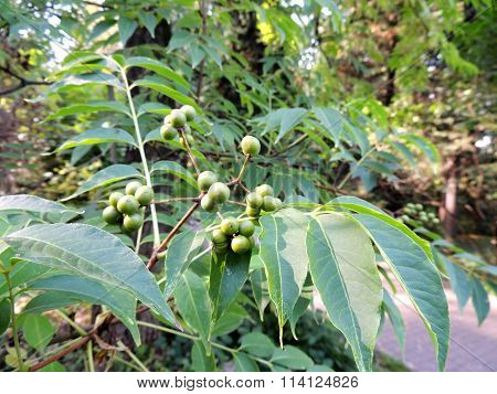 Foliage and green fruit Amur velvet (Phellodendron amurense)