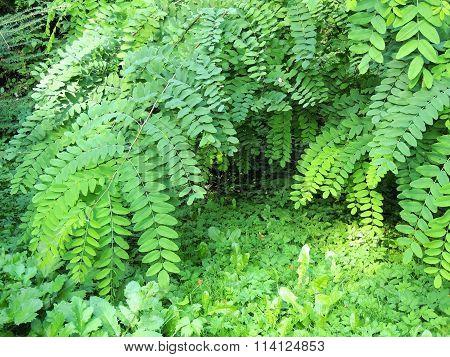Foliage Robinia pseudoacacia