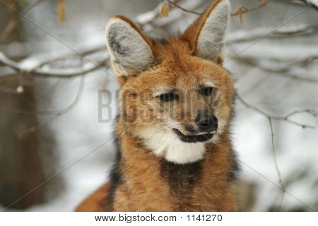Maned Wolf In Winter