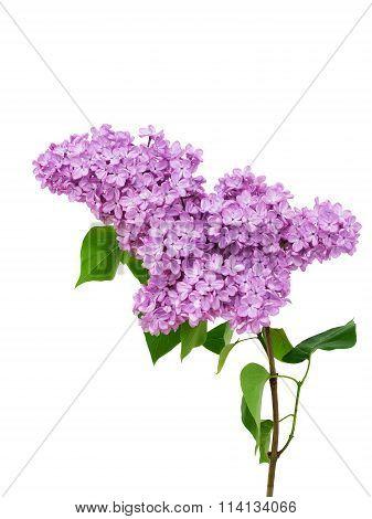 Lilac Flower Isolated On White Background - Syringa Vulgaris