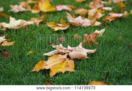 Mapel Leaves