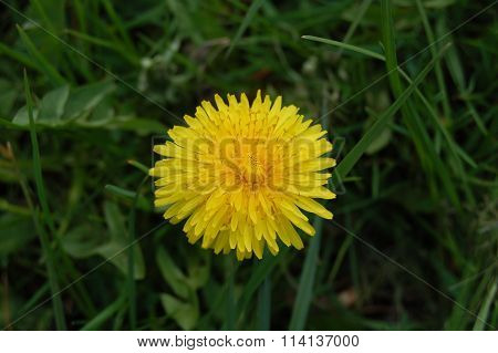 Sow Thistle beautiful