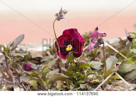 Burgundy Viola tricolor, Pansy
