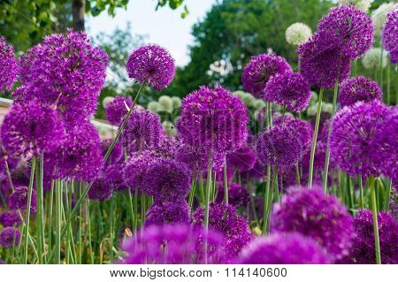 Allium flowers in a flower bed