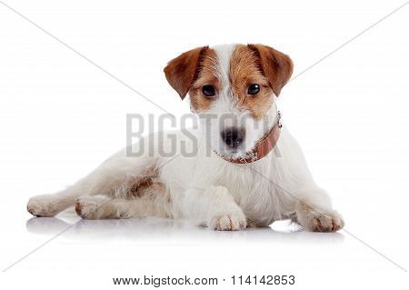 White With Red A Doggie Of Breed A Jack Russell Terrier