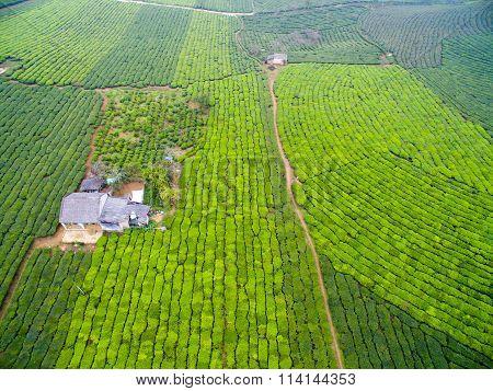 A little house in tea field in Moc Chau plateau