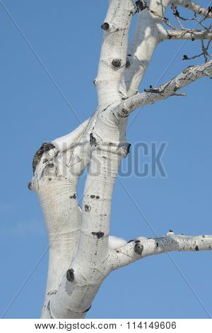Aspen tree in winter