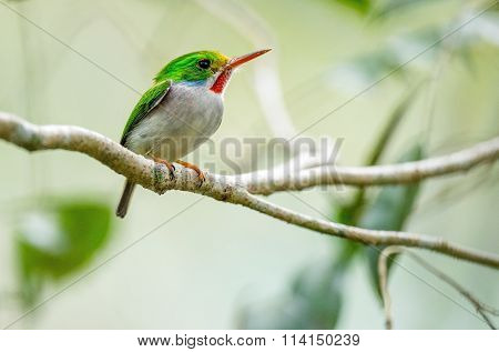 Cuban Tody, Todus Multicolor, An Endemic Species Of Cuba