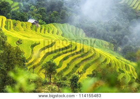 Glutinous rice terraces winding of the valley misty yellow