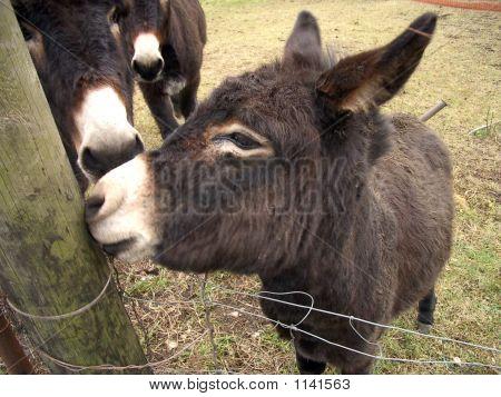 Tre Asini - Three Donkeys