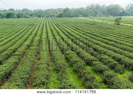 Green Tea Farmland