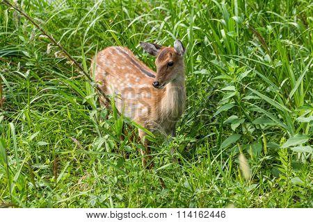 Deer fawn standing in tall grass