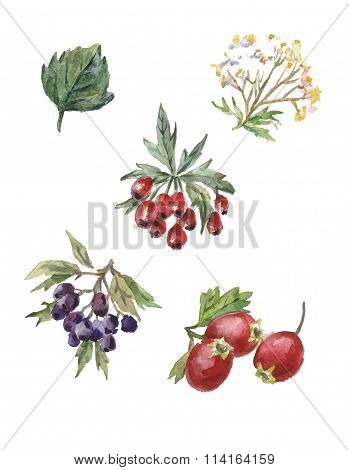 vector watercolor set of rosehips and hawthorn