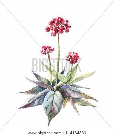 vector ginseng watercolor