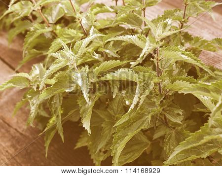 Retro Looking Stinging Nettle